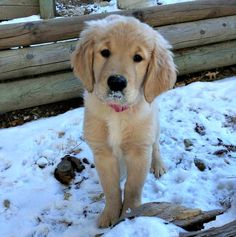 Sweet #GoldenRetriever puppy in the snow!