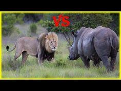 Lion vs Rhino - Real Fight - YouTube