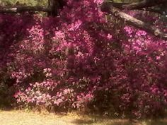 Annual azalea blooms just down the road. HUGE shrub under a tree. Contrasted by the dry, brown grass below.