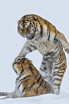 Tigers and snow. I Want To Play   Paul Keates