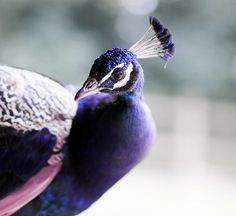 Purple Peacock: