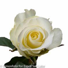 """""""Blizzard"""" white rose"""
