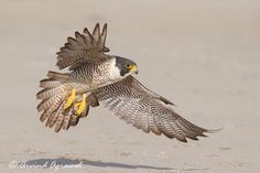 Peregrine Falcon landing one beach to feast on a previously killed gull.