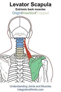 Levator Scapula – Functional Anatomy     Integrative Works