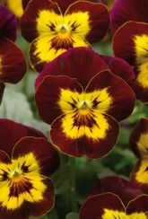 Viola Twix Red And Yellow - Bedding