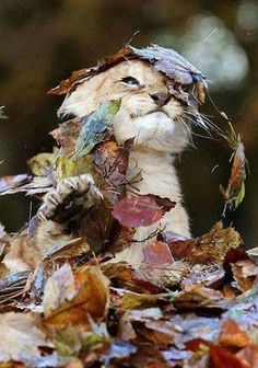 baby lion cub playing in the leaves Animals And Pets, Baby Animals, Cute Animals, Wild Animals, Autumn Animals, Fluffy Animals, Animals Images, Nature Animals, Cute Kittens
