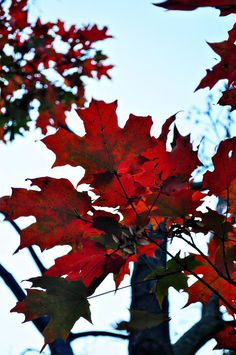 Photo of fire red sky blue fall foliage autumn by RiskLoveFreedom, $30.00