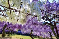 Fuji Park (Fuji Wisteria Park) - Featuring the largest number of plant varieties in Japan, including a wide variety of wisteria Japanese Colors, Okayama, Wisteria, Fuji, Tourism, Bloom, Explore, Park, Plants