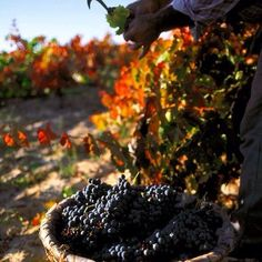 #Harvest15... And Earth gives its Best Fruits to Mankind... #Wine's on its Way  #wineLover