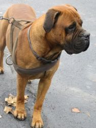 Hercules is an adoptable Boxer Dog in Port Jervis, NY. (No. 449) Hercules is my name and it certainly fits me. I'm a strong handsome male boxer/mastiff mix. I'm an amazing brown with a dark mushy face...