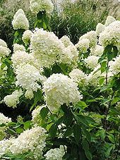 very informative article on growing and pruning  Hydrangeas
