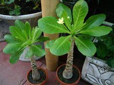 Palmier de Hawaï - Brighamia insignis