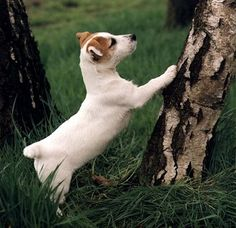 Jack Russell Terrier - If I can only climb, I'll get all the squirrels