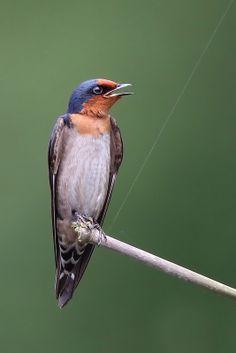 Hirundo tahitica - jaskółka pacyficzna - Pacific Swallow