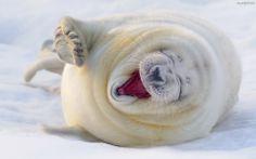 lachende zeehond