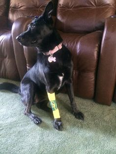 """""""Our dog went to the vet and came back #BaylorProud. #SicEm"""" (Via @Huntman5 on Twitter)"""