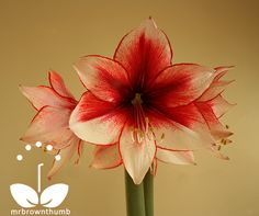 Amaryllis. Representing Pride, Determination & Radiant Beauty. #newfav