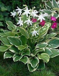 viherpeukalot So Sweet-jalokuunliljan kauniit, valkoiset ja tuoksuvat kukat avautuvat heinä-elokuussa. Lehtien kermanvalkeat reunat muuttuvat kesän myötä lähes puhtaanvalkoisiksi. ´So Sweet´ kasvaa 40-60 cm korkuiseksi ja on talvenkestoltaan kestävä.