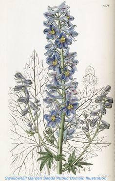 Delphinium elatum subsp. elatum [as Delphinium montanum] - 1837 - by Sarah Ann Drake