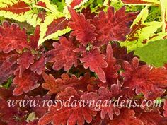 upright ) The heavily scalloped, ruffled, pointed leaves of this coleus gleam like polished copper. Greenhouse Plants, Garden Plants, Online Nursery, Orange And Purple, Yellow, Plant Catalogs, Garden Yard Ideas, Shade Plants, Landscaping Plants