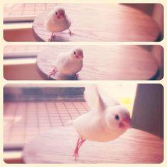 ひよこ文鳥、離陸。