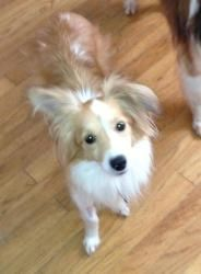 Hello!  My name is Walter and I think I'm sheltie mixed in with a bit of Papillion.  Everyone says I am ADORABLE!  I'm a cuddle bug and very silly. WALTER: is an #adoptable #ShetlandSheepdog #Sheltie, #Dog; in #Malverne, #NEWYORK