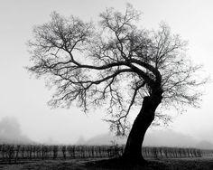 Black Oak, Sonoma CountyPhotograph by Mark Zukowski, questioning black oak tree overlooks dormant vines on a foggy winter morning in Sonoma County.