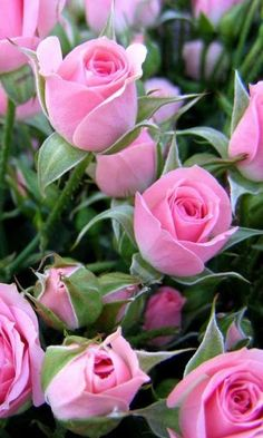 Beautiful Pink Roses