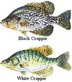 Crappie are fairly active year round, but fall and spring offer the hottest fishing. The warming spring water temperatures triggers a feed-a...