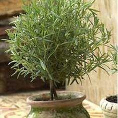 Make a Rosemary Topiary