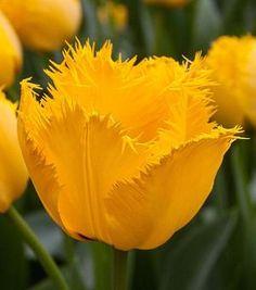 Tulip 'Crystal Star'