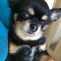 #犬 #愛犬#dog#チワワ#ロングコートチワワ#ぶぅちゃん