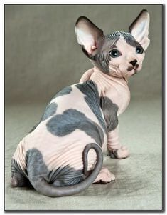 WOW.. Not a Sphynx cat I bred but I LOVE the PHOTO!  Re-pinned, here is the original text:  white Sphynx by Petrina Hicks. I'm not usually a fan of any pet being hairless and cute, but this one, I...