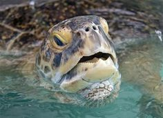 FILE - In this July 24, 2013 file photo provided by the Florida Keys News Bureau, OD, a 320-pound green sea turtle lifts his head to breathe in a transition pool at the Florida Keys-based Turtle Hospital in Marathon, Fla. (AP Photo/Florida Keys News Bureau, Andy Newman) ▼5Mar2014AP Florida Keys creatures: Fish, birds, 6-toed cats http://bigstory.ap.org/article/florida-keys-creatures-fish-birds-6-toed-cats