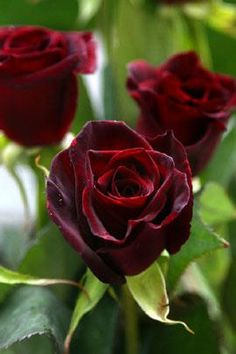 Like Black cherry velvet. People can't help but touch it's luxurious rich dark petals.  One of our most popular rose varieties for it's color and look.