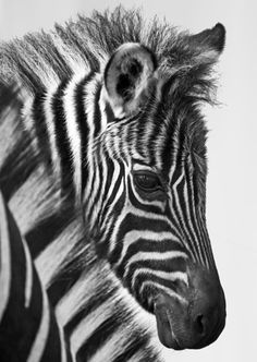 Gorgeous baby zebra. Nature is the best artist.