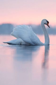 Magical moment. Swan