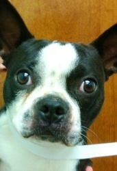 Basil is an adoptable Boston Terrier Dog in Oswego, IL. ***AVAIL NOW- I am in Yorkville IL awaiting my forever family*** Hi Everyone, I'm Basil and I am an adorable 9-10 month old pure bred Boston Ter...