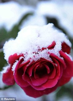 Snow covered red rose in Moulin, Perthshire | Reuters, 2011