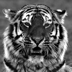 Vladimir.  Taken at the Yorkshire Wildlife Park, Doncaster. By Jackie#1981  Magnificent creatures!