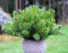 rautakaupoissa Spruce Tree, Branches, Christmas Wreaths, Plants, Winter, Christmas, Winter Time, Plant
