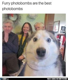 Furry photobombs are the best photobombs! (Funny Animal Pictures) - #dog #furry #photobomb