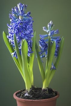 Indoor Hyacinth Care: Caring For Hyacinth Houseplants Post Flowering - Because of their attractive flowers and delicious smell, potted hyacinths are a popular gift. Once they're done blooming, though, don't rush to throw them away. With a little care, you can keep your indoor hyacinth after blooming. This article will help.