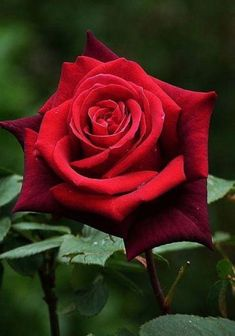 hybrid tea roses quicksand – Famous Last Words Beautiful Red Roses, Pretty Roses, Flowers For You, Love Flowers, Purple Flowers, White Flowers, Rose Reference, Growing Roses, Hybrid Tea Roses