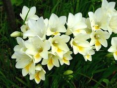 Photo of Freesia for fans of Flowers. Pictures uploaded by Fanpop users for Flowers Picture Contest.
