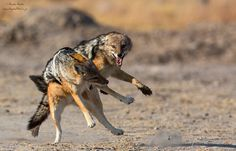 Fighting Jackals by Hendri Venter on 500px