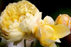 Roses from my old garden » robertmealing.com
