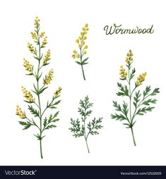 Hand Drawn Watercolor Vector Botanical Illustration Of Wormwood. Stock Vector - Illustration of botanical, field: 82163194 Hop Tattoo, Olive Branch Tattoo, Floral Banners, Floral Embroidery Patterns, Free Hand Drawing, Pagan Witch, Zentangle Drawings, Flower Doodles, Plant Illustration