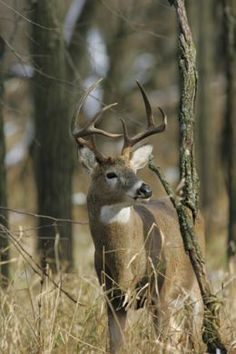 Sometimes deer especially bucks may be hard to see. Watch for movement as much as you watch for deer. Click the photo for great deer photo collection and much more.