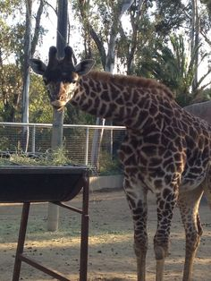 i loved visiting the Giraffes at the San Diego Zoo!